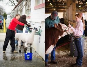 Cover photo for 2015 Farm Bureau Clover Classic 4-H Livestock Show