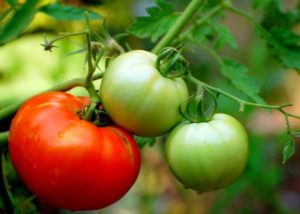 Cover photo for How to Grow Better Tomatoes