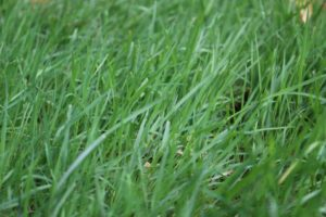 Grass in a lawn