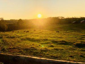 livestock and sunset