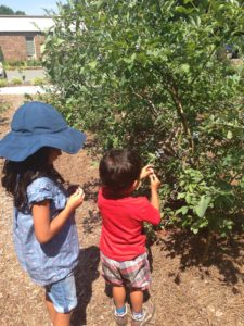 Image of kids picking blueberries
