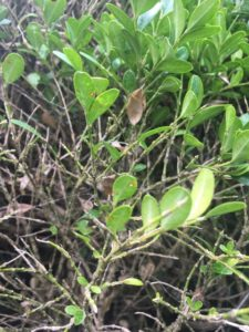 Close up of boxwood blight