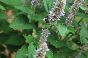 Bee activity on Agastache.