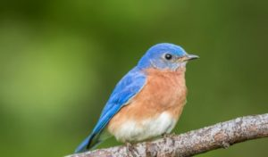 image of a blue bird