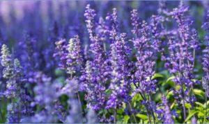 Image of purple plants