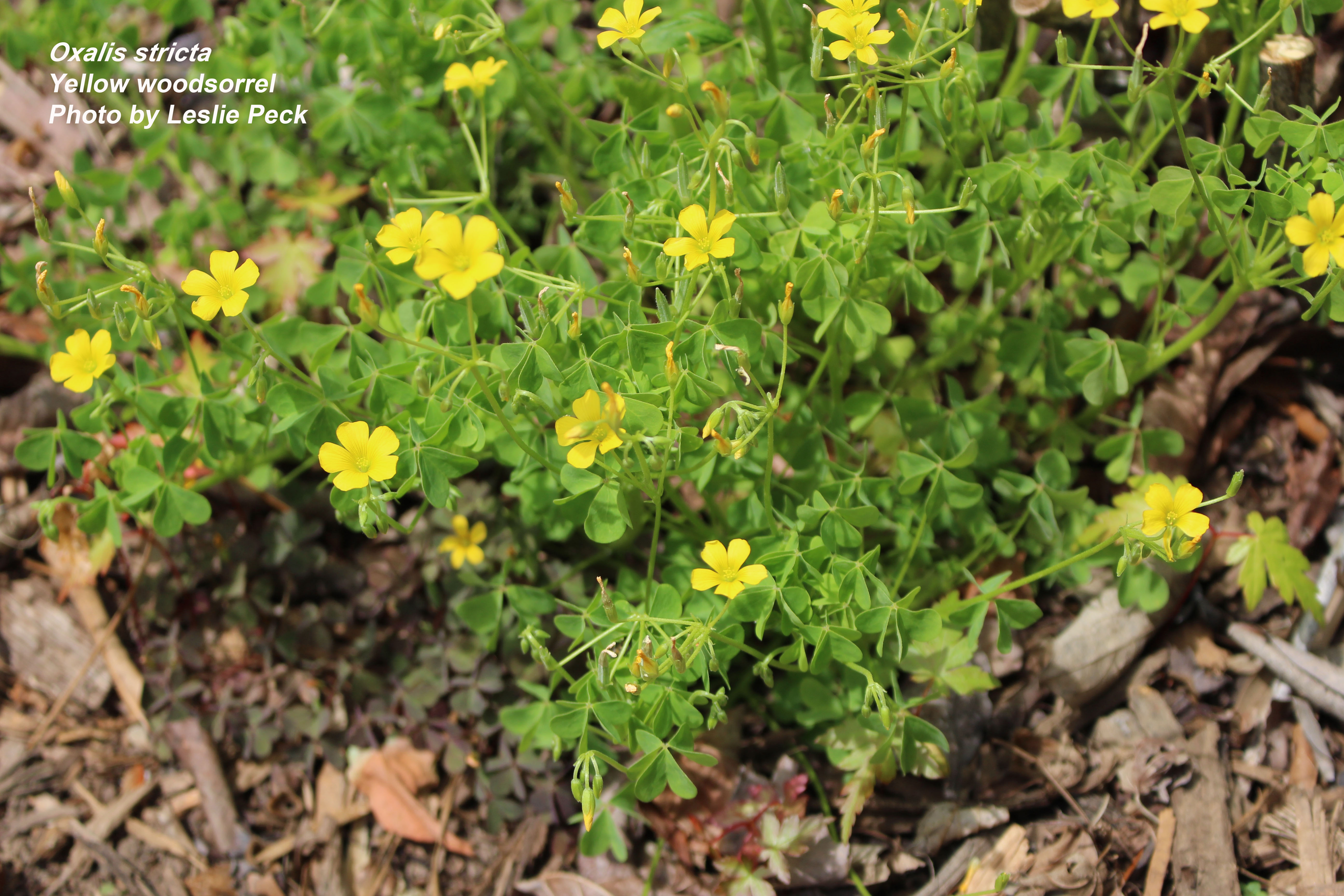 Woodsorrel flowers