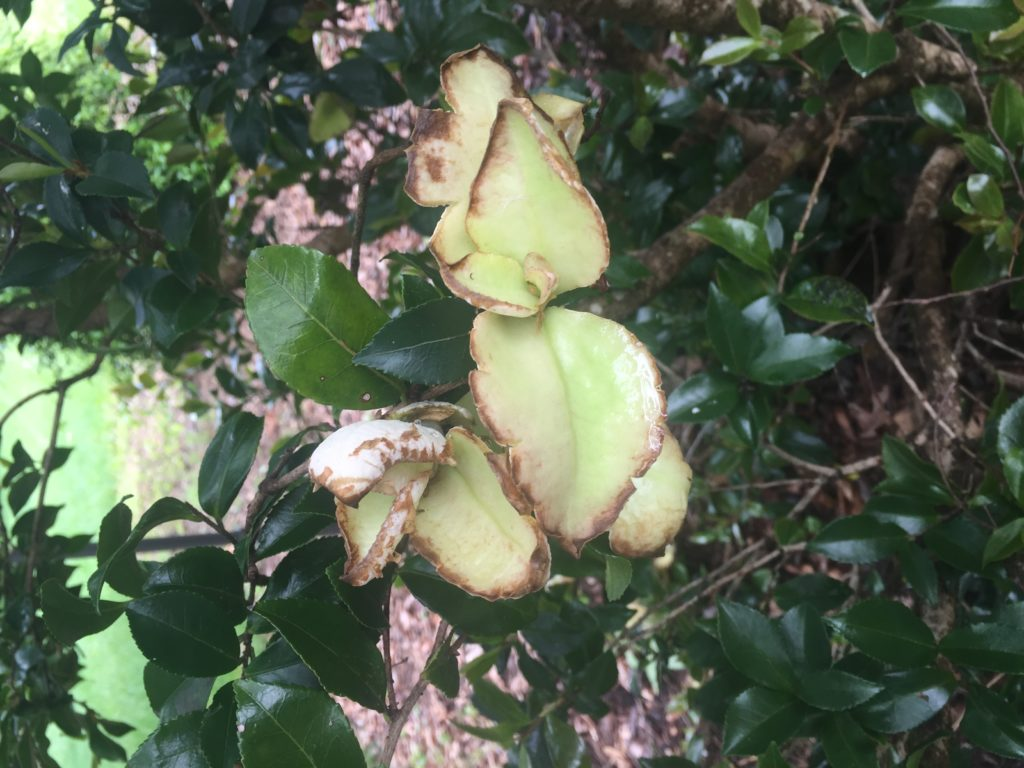 Camellia leaf gall
