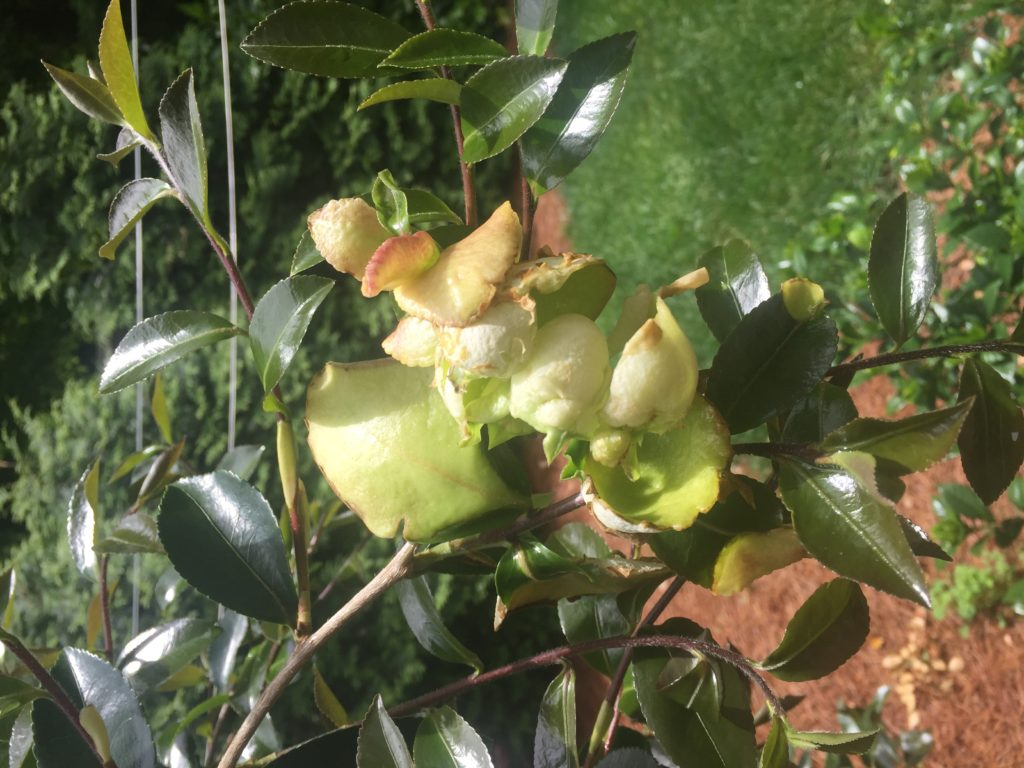 Camellia leaf gall.