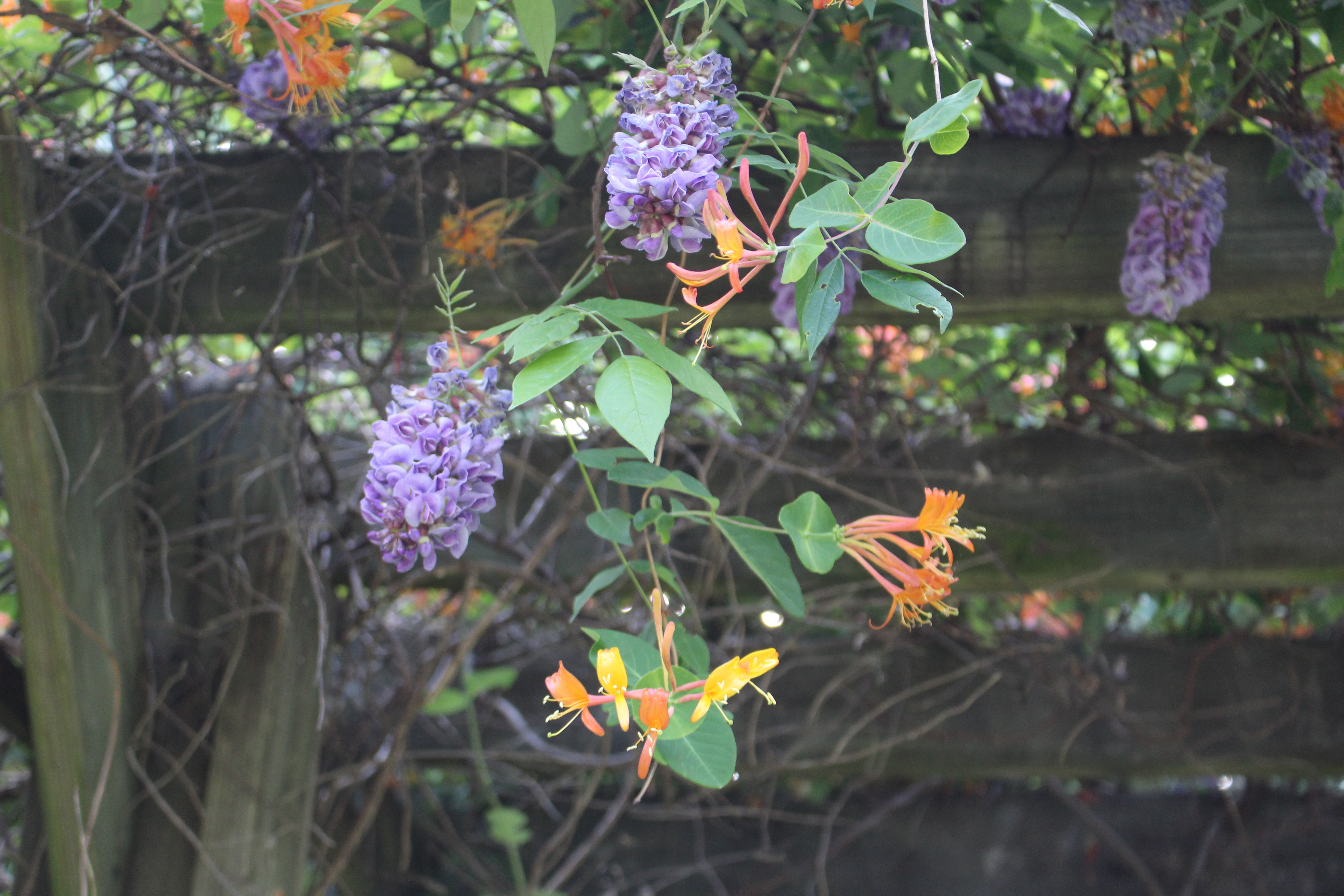 Wisteria and honeysuckle blooming