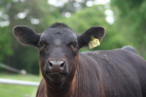 Picture of a beef heifer