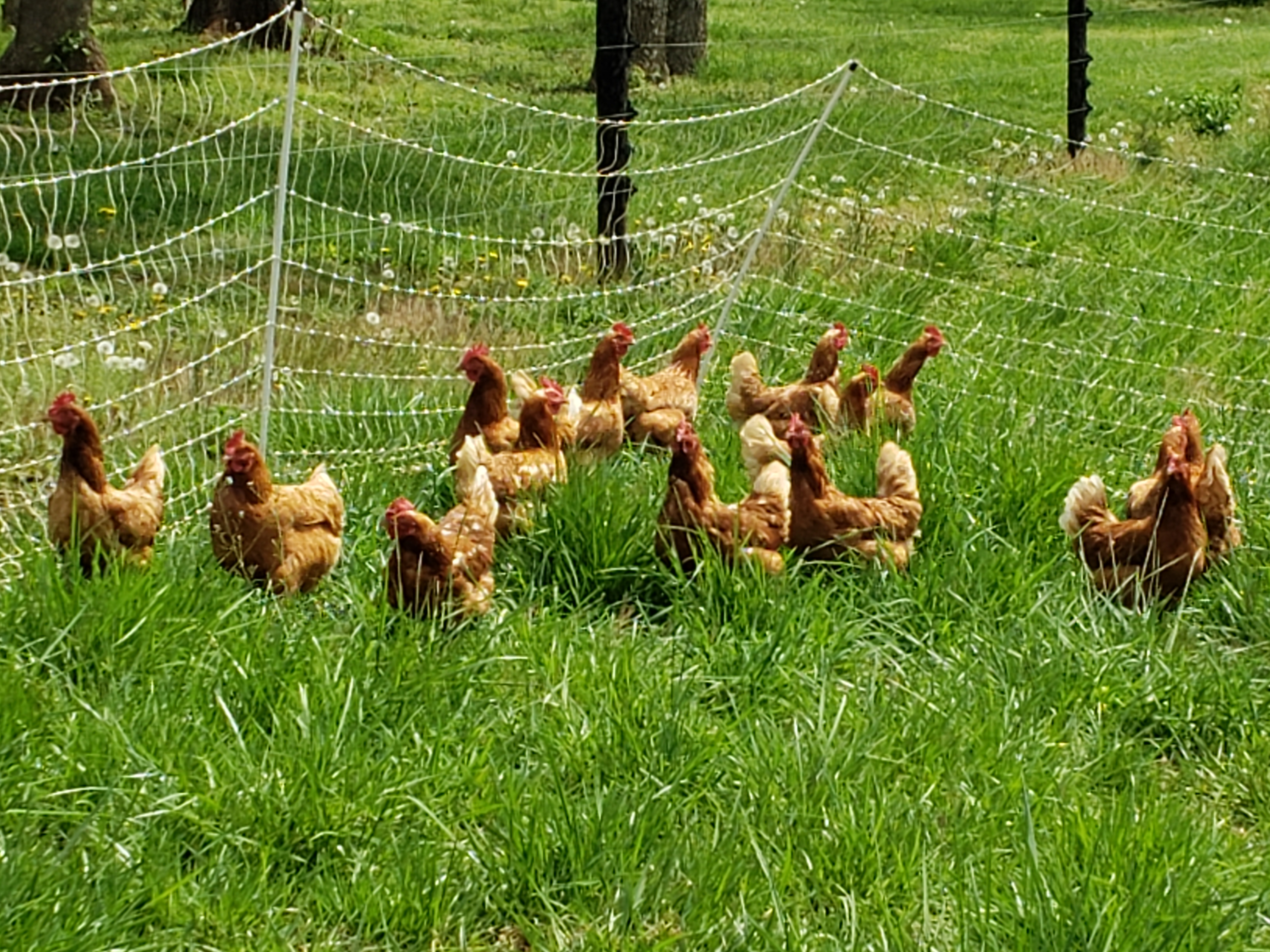 chickens ranging in a pasture