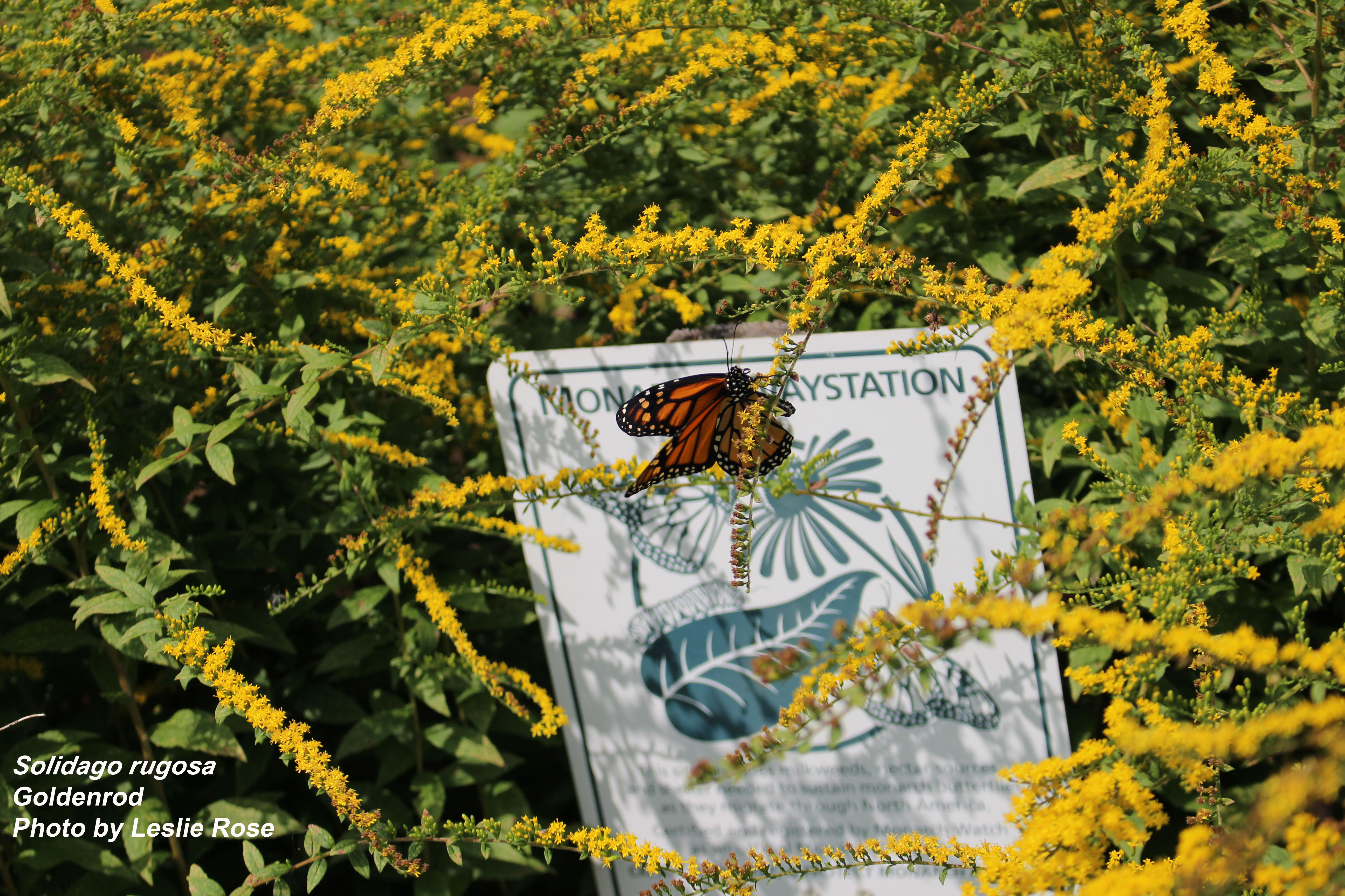 Goldenrod with monarch