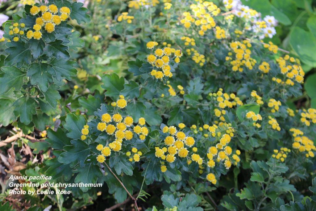 green and gold chrysanthemum