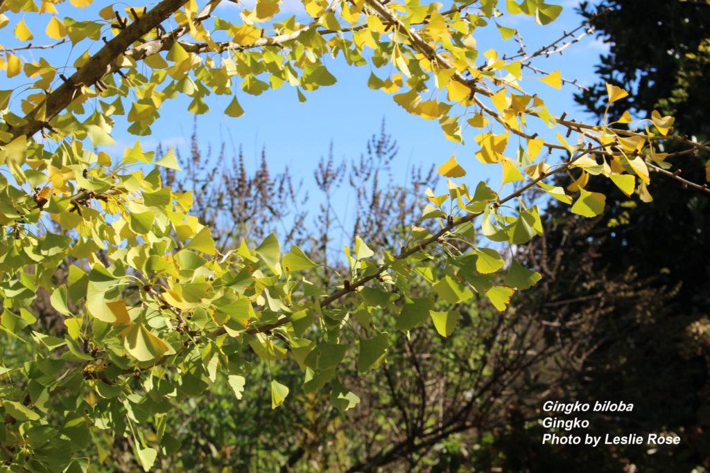 Gingko in fall