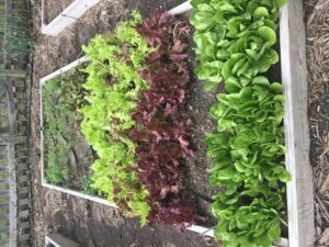 Lettuce in raised garden