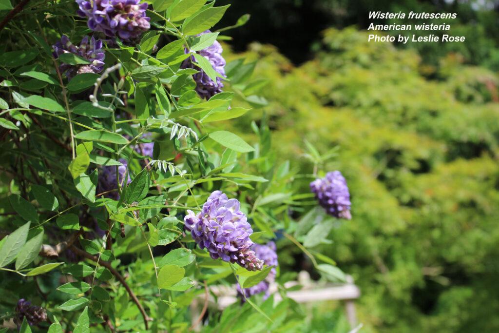 American wisteria