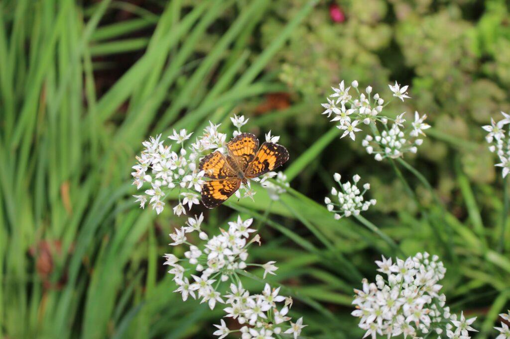 Butterfly on garlic flowers
