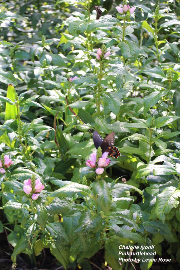 Pink turtlehead