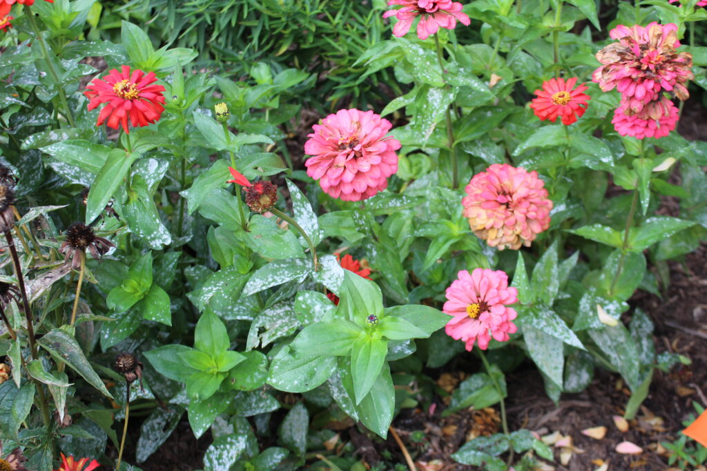 Powdery mildew on red and pink zinnias