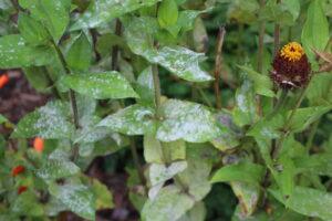 Powdery mildew on zinnia leaves